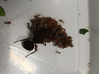 A.-cephalotes-2-rotated-1.jpg