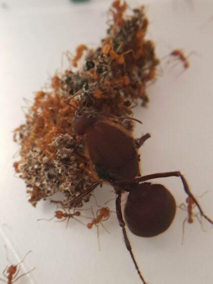 A.-cephalotes-3-rotated-1.jpg