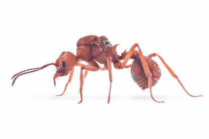 Acromyrmex-octospinosus-2.jpg