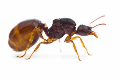 Aphaenogaster-dulcinea.jpg