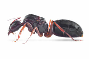 Camponotus-aethiops-white.jpg