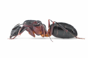 Camponotus-barbaricus.jpg