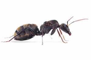 Camponotus-cosmicus.jpg
