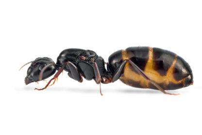 Camponotus-fallax.jpg