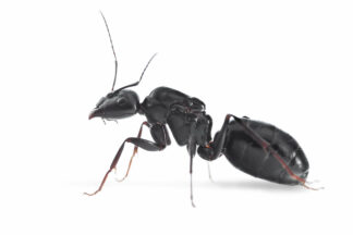 Camponotus-foreli.jpg