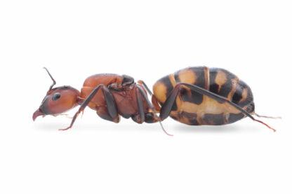 Camponotus-habereri.jpg