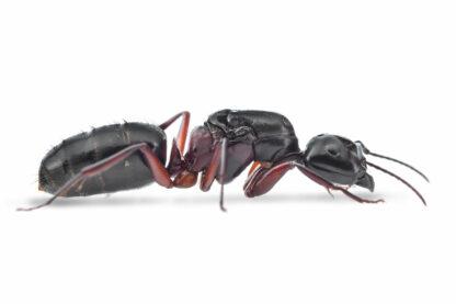 Camponotus-herculeanus.jpg
