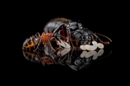 Camponotus-herculeanus-black.jpg