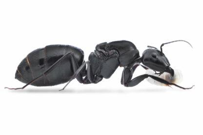 Camponotus-japonicus.jpg