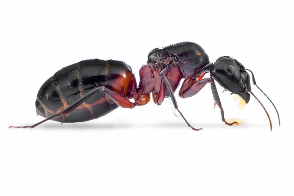 Camponotus-ligniperda.jpg