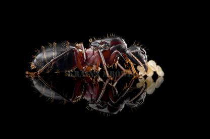 Camponotus-ligniperda-black.jpg