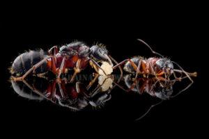 Camponotus-ligniperda-black2.jpg