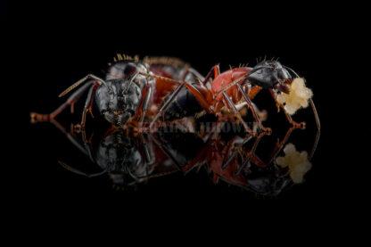 Camponotus-ligniperda-black3.jpg