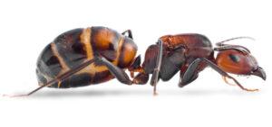 Camponotus-nicobarensis-e1565714096206.jpg