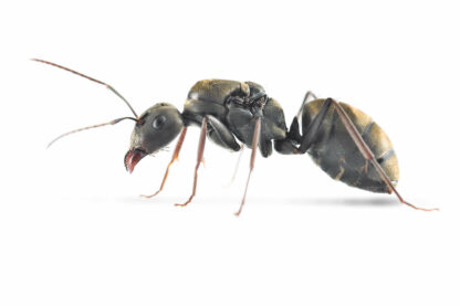 Camponotus-parius.jpg