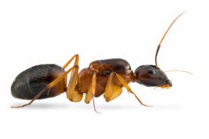 Camponotus-pseudoirrytans-1.jpg