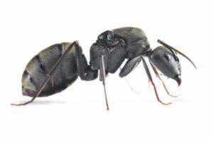 Camponotus-pseudolendus.jpg