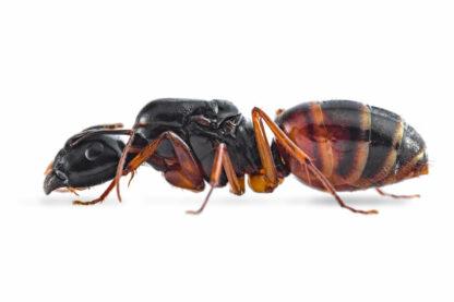 Camponotus-sansabeanus.jpg