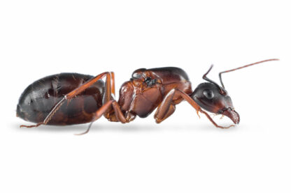 Camponotus-sylvaticus.jpg