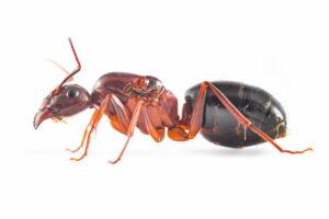 Camponotus-turcestanicus-white.jpg