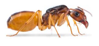 Camponotus-turcestanus-e1565714487515.jpg