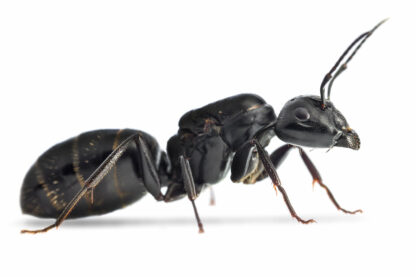 Camponotus-vagus.jpg