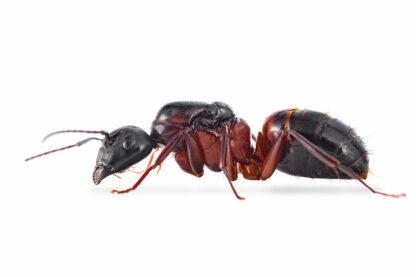 Camponotus-vicinus.jpg