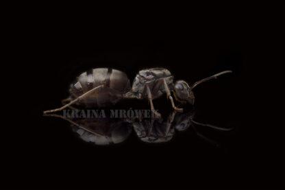 Formica-cinerea-black.jpg
