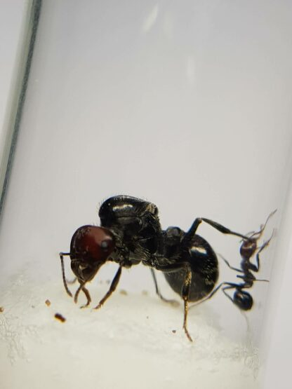 Messor-cephalotes-1-rotated-1.jpg