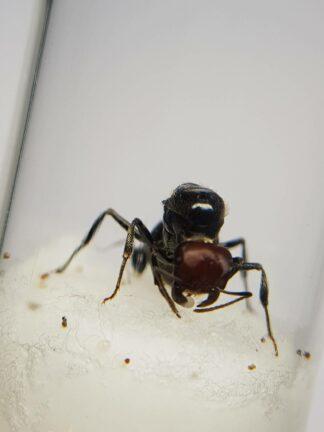 Messor-cephalotes-2-rotated-1.jpg