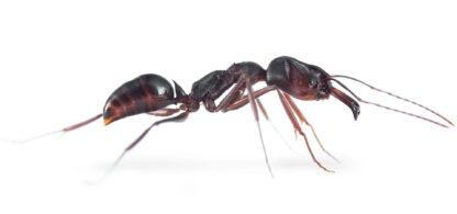 Odontomachus-sp.-white-e1581108105939.jpg